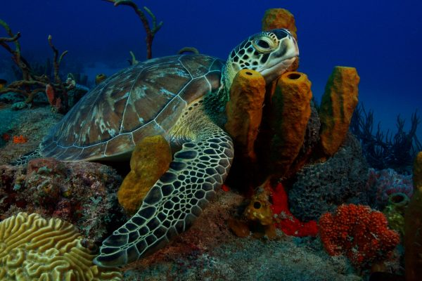 Green Turtle Image-min