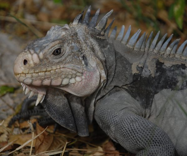 Lesser Antillean Iguana image-min
