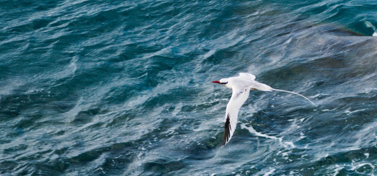 Statia's Red-Billed Tropic Bird Population