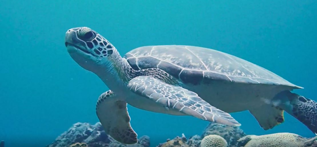 Sea Turtle Season Begins on Statia