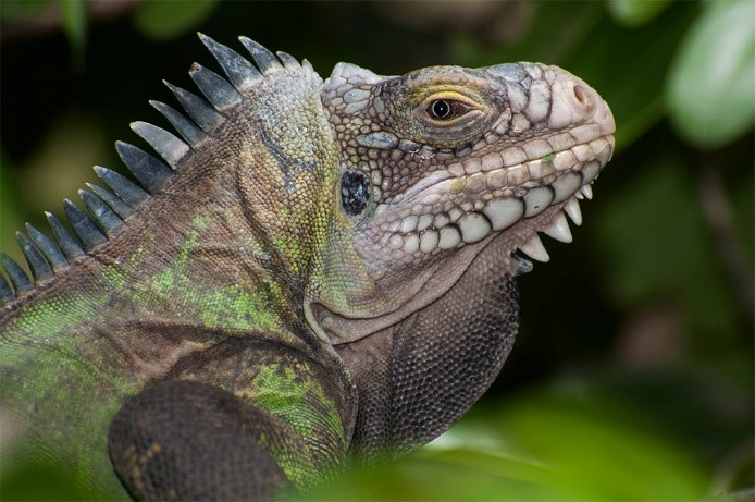 Help us Protect our Native Iguana