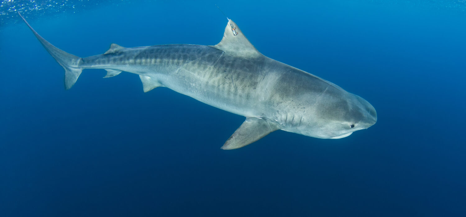 Unraveling the Mysteries of the Saba Bank: DCNA Tiger Shark Expedition 2021